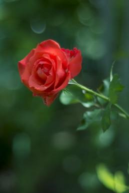 Фото: Роза