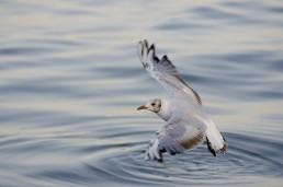 Фотография чайки на море